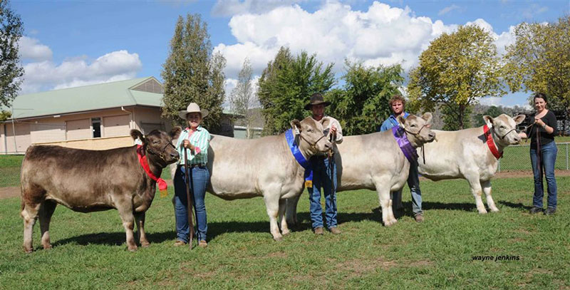 2013-Murray-Grey-National-Females-sold